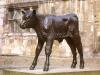 friesian-calf-side-on