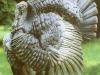 turkey-stag