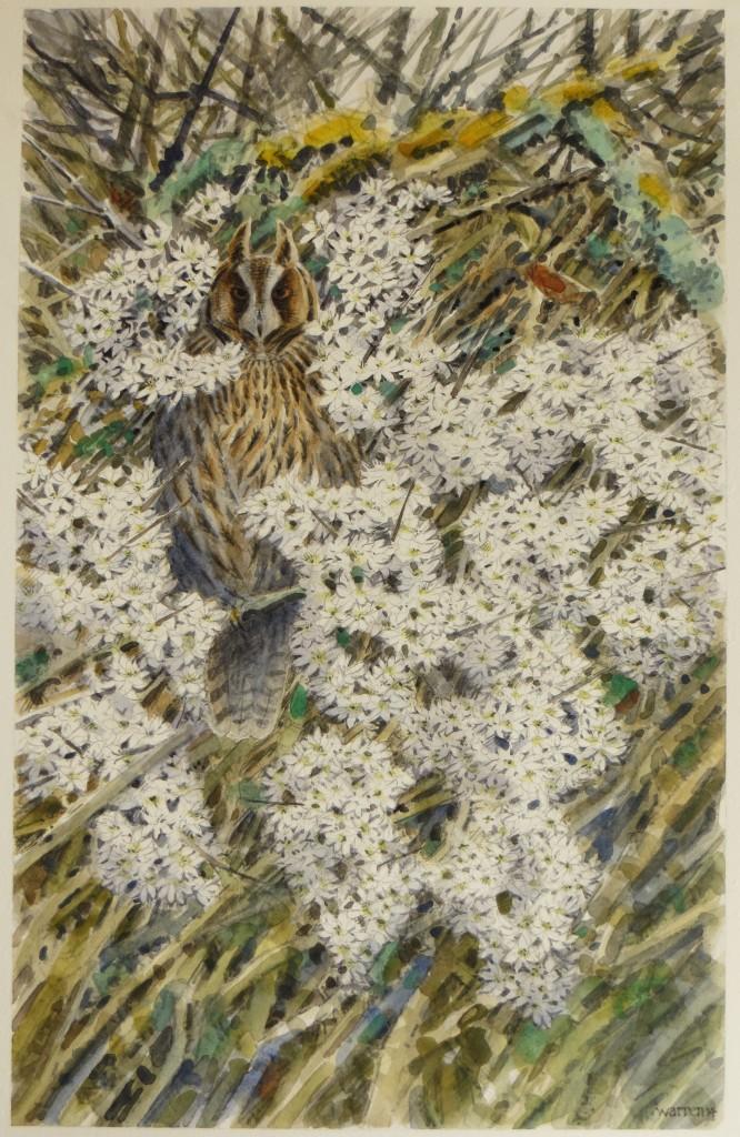 Long-eared Owl  -   39x24cm  -  £625